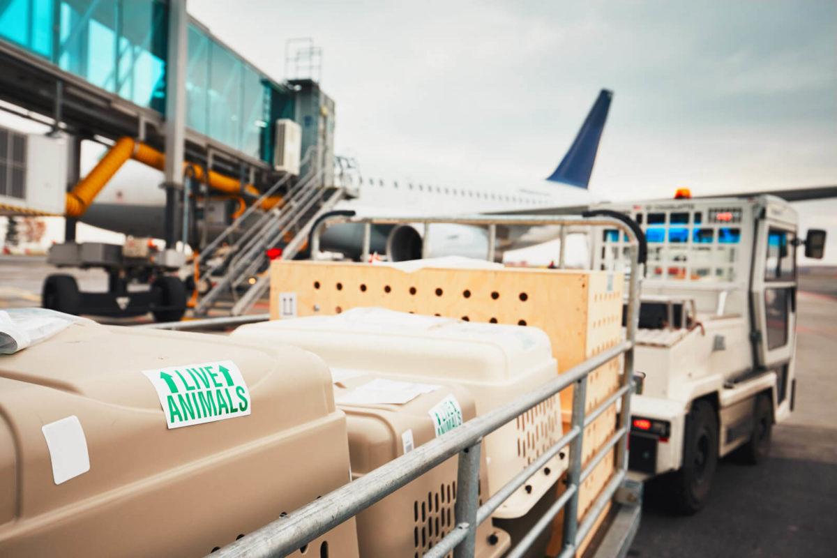 https://ac-lines.com/wp-content/uploads/2018/10/servizio-trasporto-aereo-animali-vivi-1200x800.jpg